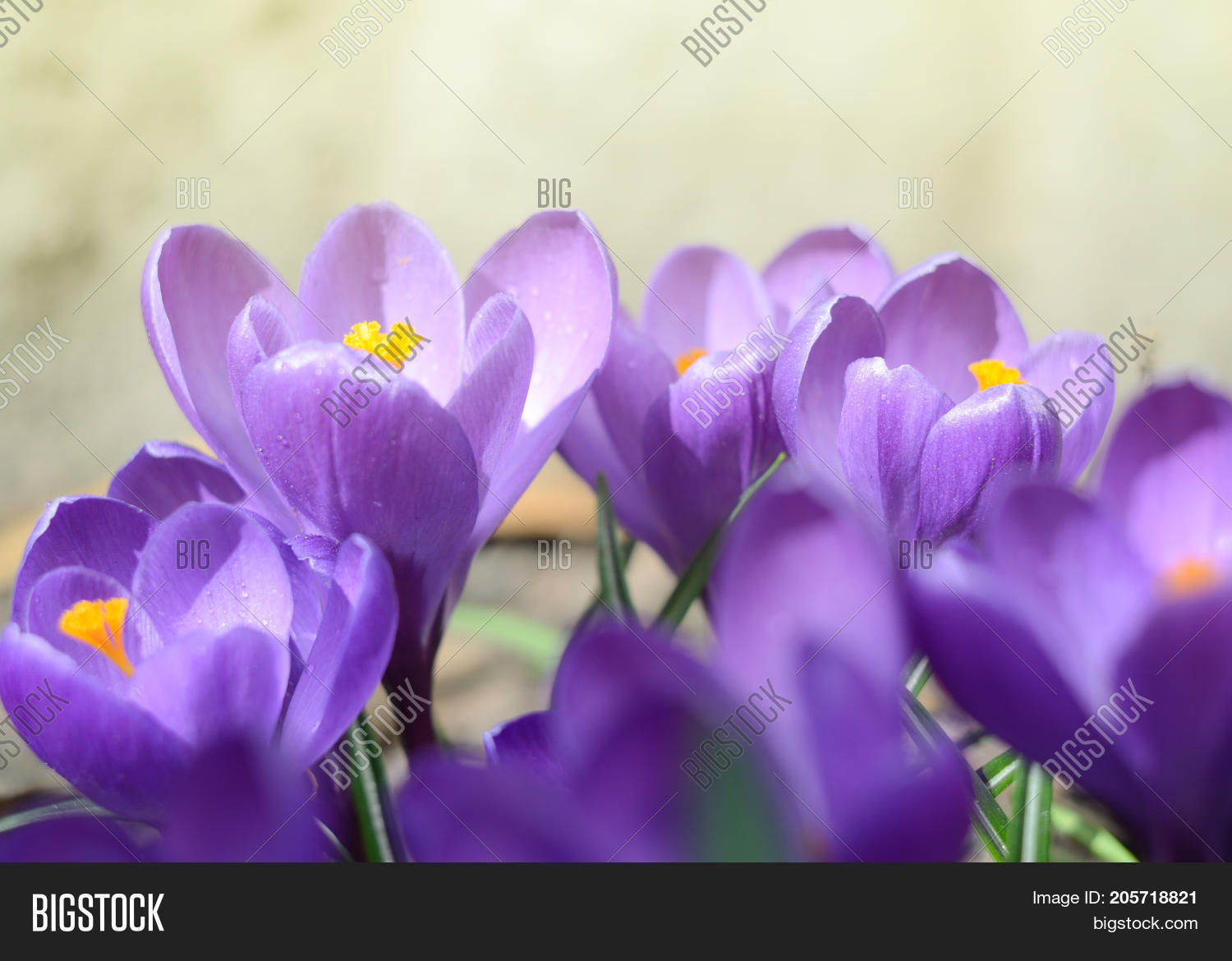 Beautiful first spring image photo free trial bigstock beautiful first spring flowers crocuses bloom under bright sunlight mightylinksfo
