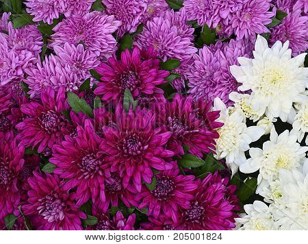 Chrysanthemum flowers as a background close up.Pink and white chrysanthemums in the garden.Floral background.Selective focus.