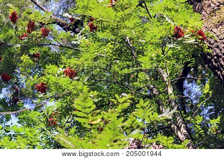 Grapes of red mountain ash hanging on branches.