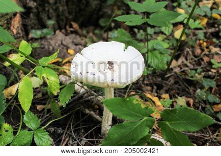 Not eatable mushroom (named toadstool or Destroying Angel) grows on the ground among the low grass.