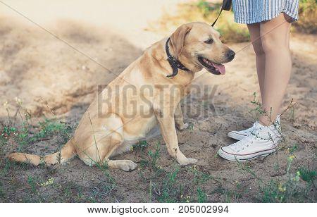 Yellow Labrador Retriever Dog Sit On Sand Near Womans Legs