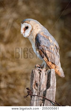 Barn Owl (tyto Alba) Perched On Wooden Post. Side View.