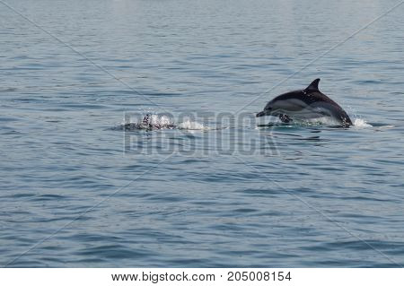 Two Dolphins Jumping In The Black Sea