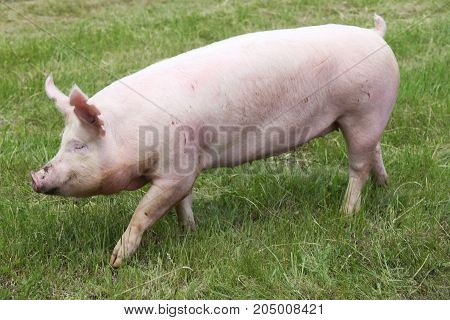 Portrait of a young pig at animal farm on green grass meadow