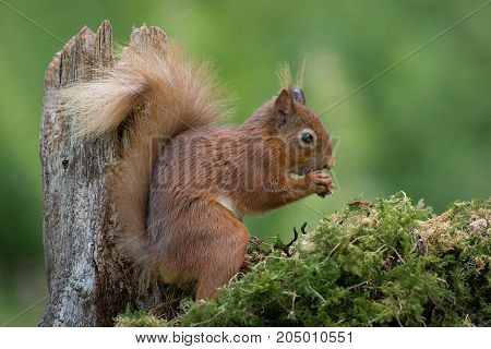 A close profile photograph or a red squirrel sitting on a lichen covered log eating
