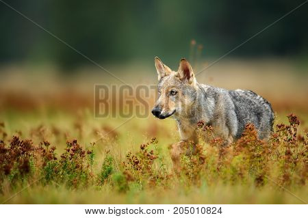 Euroasian wolf cub staring to left in colorful grass from side