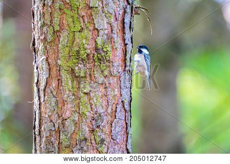 Female great tit on pine tree trunk