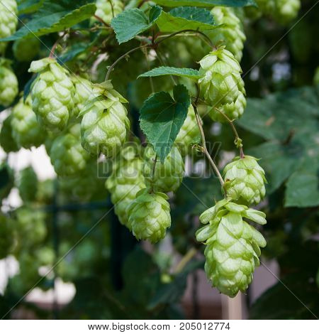 Beautiful bright green cones of hops on a sunny autumn day