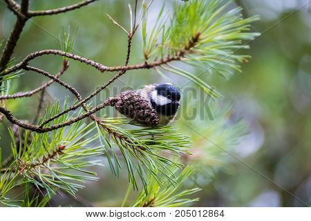 Female great tit on pine tree branch