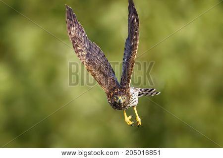 Red-Tailed Hawk in flight. Amelia Island Florida