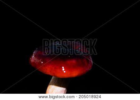 Forest Mushroom Russula