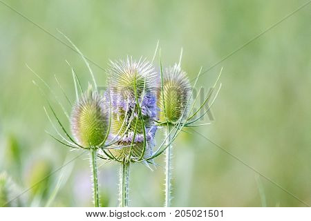 Thistles in summer against a green background