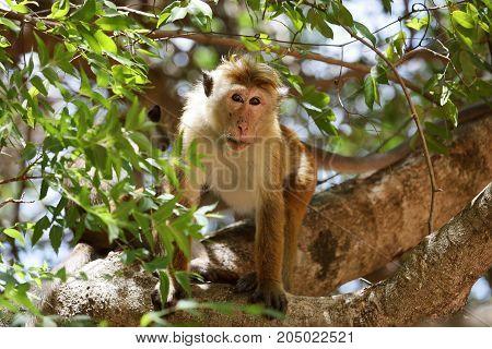 Wild Ceylon hat monkey in Sri Lanka
