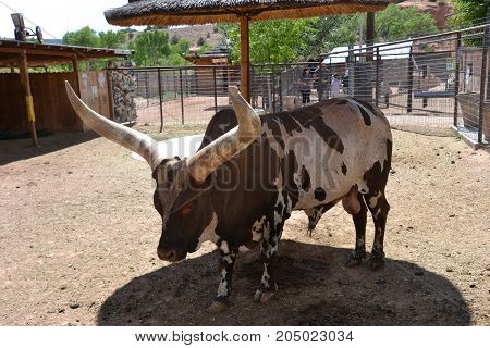 a texas longhorn steer  at a small zoo
