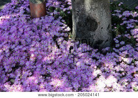 Broadleaf Liriope, Big Blue Lilyturf Under Trees In San Francisco City