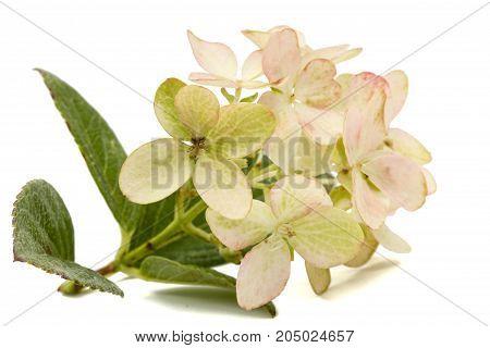 Inflorescence Of Hydrangea, Lat. Hydrangea Paniculata, Isolated On White Background