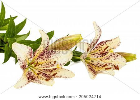 Flowers Of Asian Lily, Isolated On White Background
