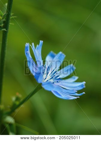 blue field flower is on a background of green grass
