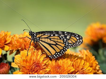Monarch butterfly (Danaus plexippus) on orange Mum flowers during autumn migration. Natural green background with copy space