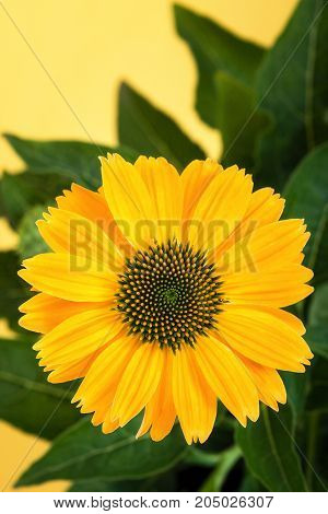 Closeup of a yellow coneflower (Echinacea) against yellow background