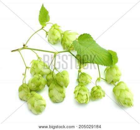 Beer brewing ingredients Hop cones isolated on white background. Beer brewery concept. Beer background