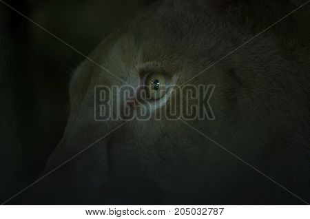Close Up Of The Lion's Eyes