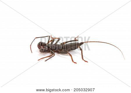 Whip Scorpion On White Background