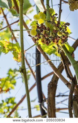 Close detail of hornets and bees eating grapes