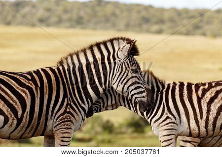 Close Up Of Two Zebras Rubbing Their Necks