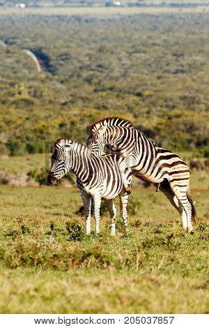 Zebra Climbing On The Other One's Back