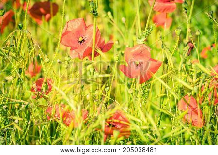 Red Poppies In A Summer Meadow