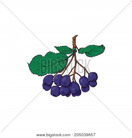 Hand drawn hanging bunch of chokeberry, black rowan berries, sketch style vector illustration isolated on white background. Hand drawn bunch of chokeberry berries, side view vector illustration
