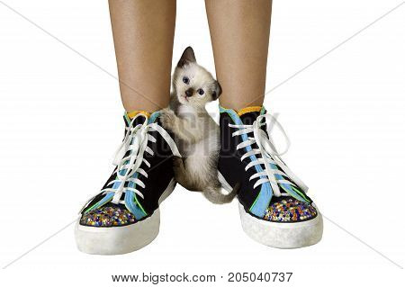 Cute Siamese colored kitten surprised by the camera while playing with the shoelace of the shoe of a young girl. He looks as if he is stuck between the shoes.