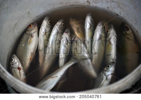 River fish in a round plastic jar with water belly up