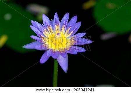 The blue lotus blossoms in the garden.