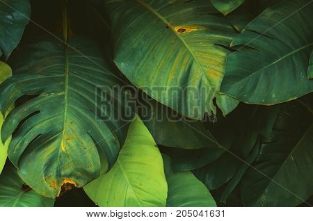 fresh green leaf monstera growing in tropical forest