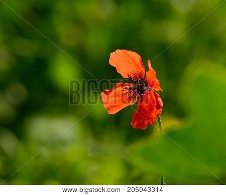 Splendid red poppy isolated with green background out of focus