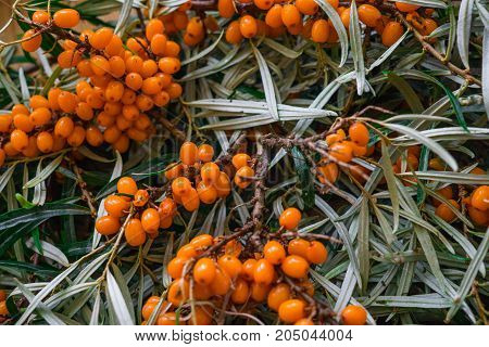clusters of ripe orange sea-buckthorn on branches.