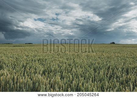 Green wheat fields on a cloudy day. Picturesque dramatic sky. Countryside landscape agricultural fields meadows and farmlands in summer. Environment friendly farming industrial agriculture concept