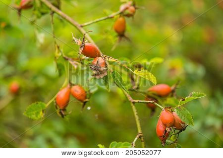 Beautiful ripe fruits of sweet-briar rose in a bush. Colorful autumn close up. Good fruits with vitamins.