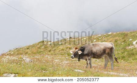 Milk Cows In A Meadow, Austria