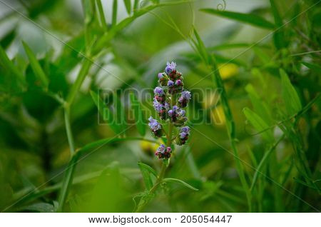 Isolated cluster of wildflowers amidst the vegetation, echium strictum