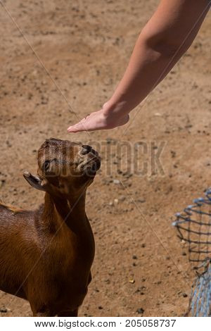 a female hand stroking a brown goat in a pen.