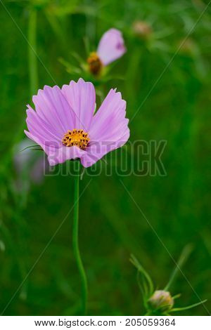 Close-up of pink cosmos flower on green field background.