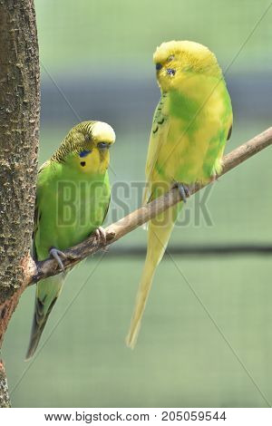 Pair of true parrots perched on a tree branch.