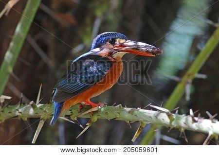 Blue-eared Kingfisher Alcedo Meninting Female Birds Feeding Fish
