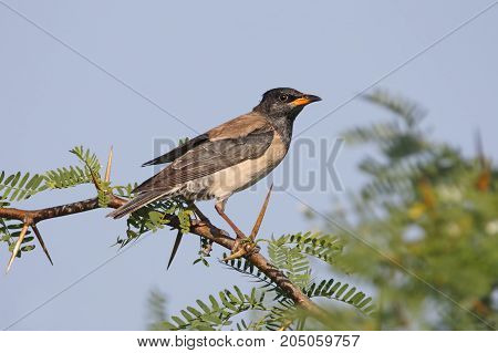Rosy Starling Pastor Roseus Beautiful Birds Of Thailand