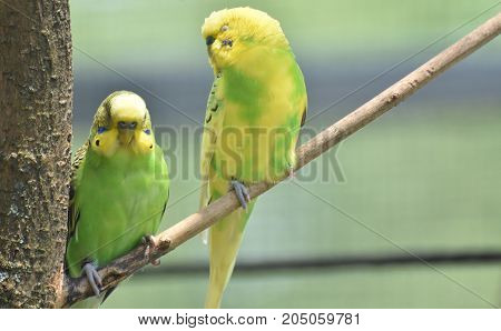 Colorful yellow and green common parakeets in a tree.