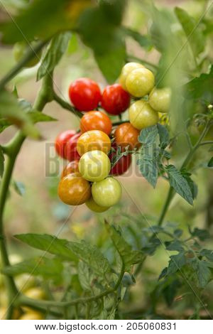A bunch of Vine ripened variety of red yellow green home grown tomatoes on brunch macro. Bokeh. selective focus