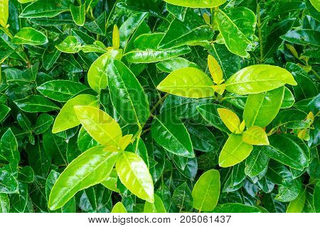Fresh Green leaves background texture. Natural green background. Glossy leaves. Saturated bright color.